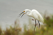 Snowy Egret with a pipefish, Bolsa Chica