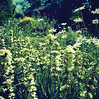 White flowers in a country garden in the summer