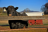 A lone cow waits for breakfast at the Mountain Research Station farms near Waynesville.