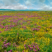 Wildflowers California
