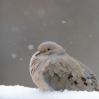 Mourning Dove staying warm in the snow