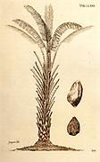 18th century illustration of Elaeis guineensis (African oil palm) from the book 'Selectarum stirpium Americanarum historia' by Jacquin, Nikolaus Joseph,Freiherr von and Kraus; Josephi Kurtzboock. Published in Vienna in 1763