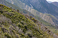 San Gabriel Mountains Chaparral (7 years after the 'Station fire') at Grizzly Flat, Angeles NF, Los Angeles Co, CA, USA, on 22-May-16
