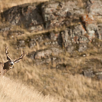 mule deer buck and doe on grassy hill open country fall rut