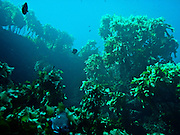 Underwater kelp forests abound at Poor Knights Marine Reserve, New Zealand.