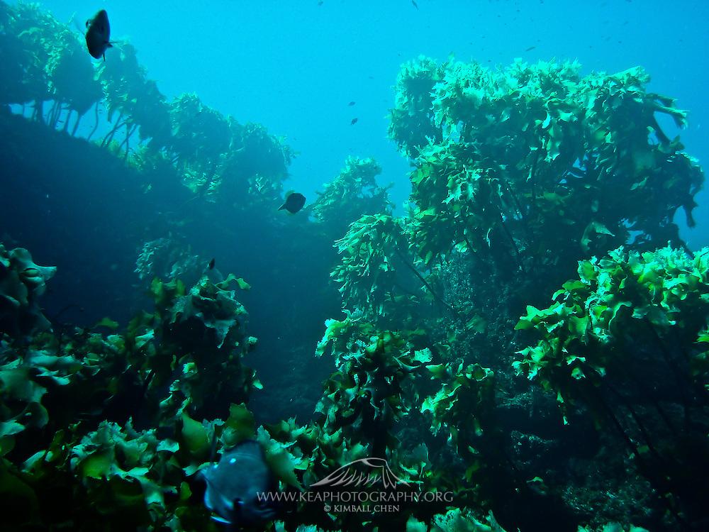 Underwater kelp forests abound at Poor Knights Marine Reserve, New Zealand.