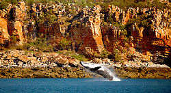A female humpback whale breaches alongside Wilson Point in Camden Sound.  Camden Sound has recently been announced as the Kimberley's first marine park.  The area is the major calving ground for the Breeding Group D population of Humpback whales, the world's largest.  The relatively quiet and unspoilt waters afford the whales peace and space as they nuture young calves.