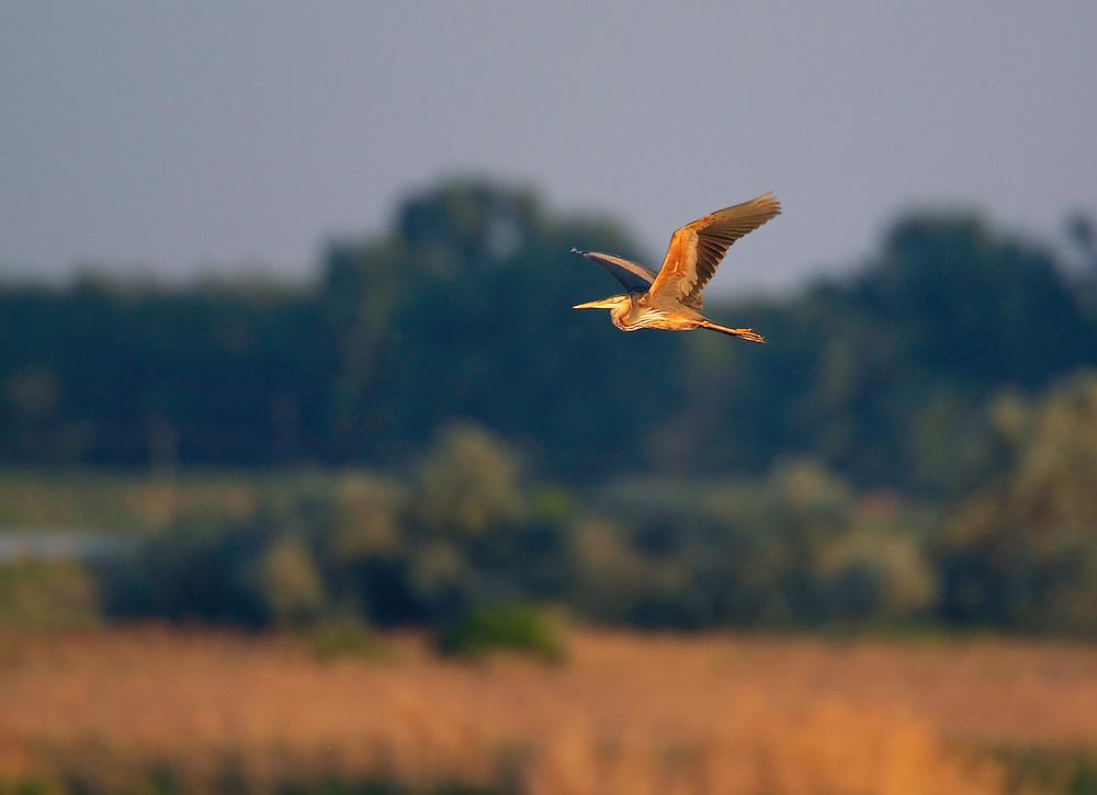 Purple Heron (Ardea purpurea) Pusztaszer Nature Reserve, Hungary