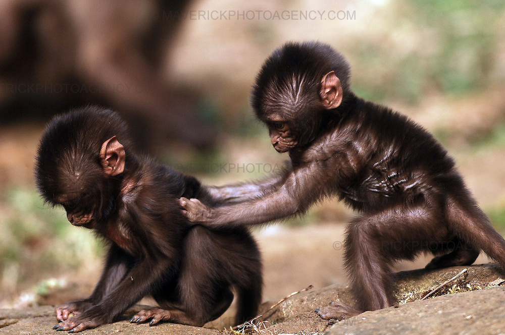 Edinburgh Zoo has welcomed the first of its spring arrivals in the form of three baby gelada baboons. The new additions, which are the first gelada babies to born at the Zoo, have been named Chandu, Chibale and Chiku...Pic shows two of the baby baboons at Edinburgh Zoo.