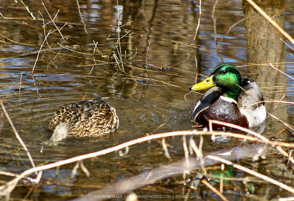 Male and female mallards swimming and feeding in a swale.