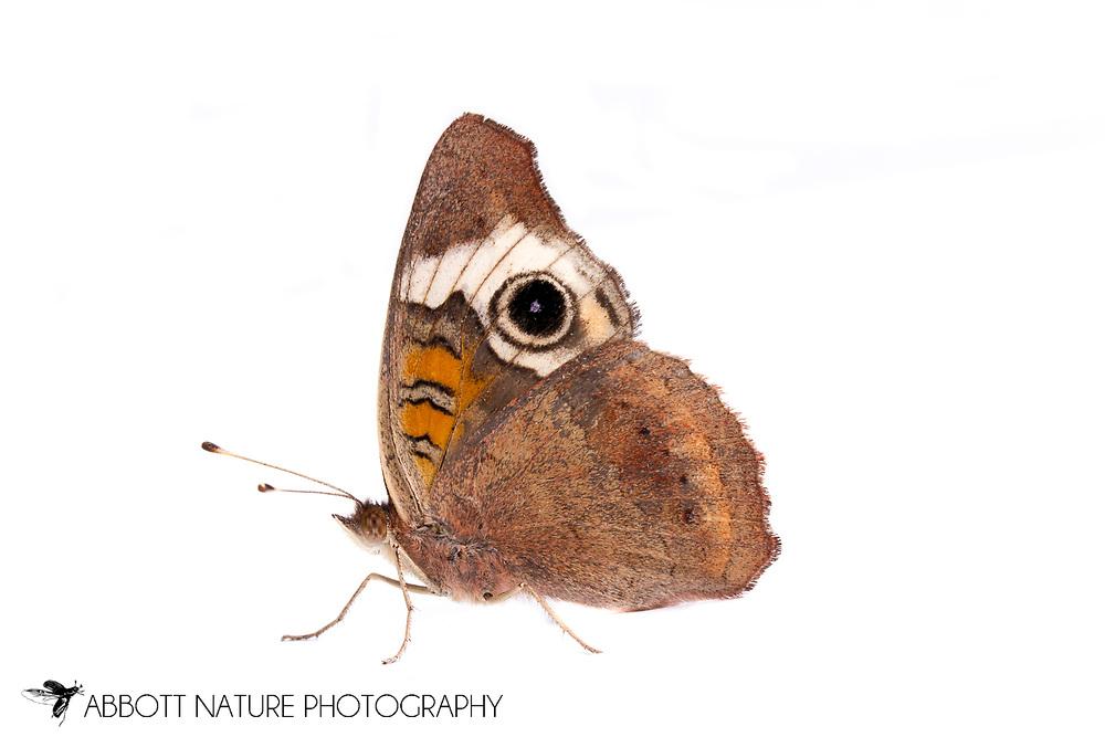 Common Buckeye (Junonia coenia)<br /> TEXAS: Travis Co.<br /> Brackenridge Field Laboratory<br /> Austin<br /> 10-Dec-2012<br /> J.C. Abbott &amp; K.K. Abbott
