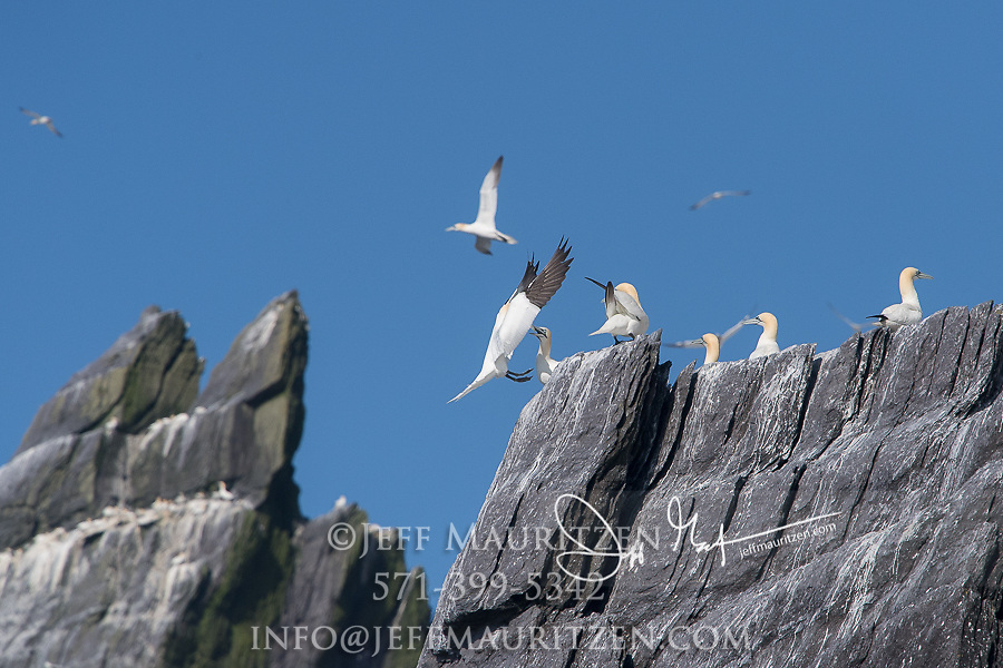 Northern gannets nest on a large seabird colony on Little Skellig island, County Kerry, Ireland.