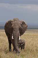 During the annual wildbeests migration, when the animals march into the Maasai Mara, the elephants march out of there because the wildbeests bring too much flies with them. In October they start to come back.