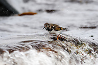Norway, Klepp. Ruddy turnstone.