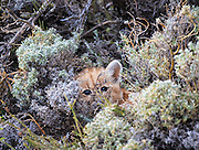 An approximately 2 week old mountain lion cub peeks out at us from it's hiding place in the brush.  This was shot on private ranch land next to Torres del Paine National Park.