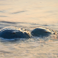 A pair of Atlantic horseshoe crabs (Limulus polyphemus) are drawn out into the surf while spawning at sunrise, Slaughter Beach, Delaware.
