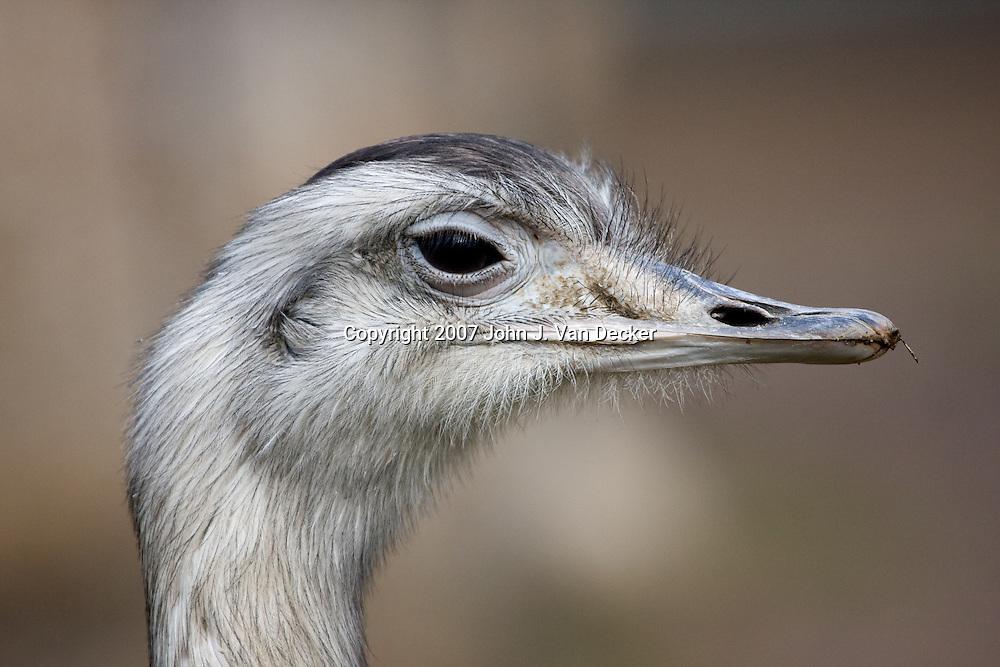Greater Rhea closeup of head