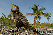 double-crested cormorant, Phalacrocorax auritus, Sandy Point, Great Abaco Island, Bahamas