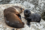 New Zealand fur seal pup with its mother (Arctocephalus forsteri) in the colony at Long Reef Point on the Tasman Sea near Martins Bay Hut, on the Hollyford Track, in Fiordland National Park, Southland region, South Island of New Zealand. After the arrival of Europeans in New Zealand, hunting reduced the seal population near to extinction. This mammal is known as kekeno in Maori language. Some call it Australasian fur seal, South Australian fur seal, Antipodean fur seal, or long-nosed fur seal. In 1990, UNESCO honored Te Wahipounamu - South West New Zealand as a World Heritage Area.