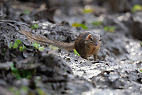 The northern treeshrew (Tupaia belangeri) is a treeshrew species native to Thailand. Northern tree shrews have grayish, olive fur. These animals are diurnal and territorial, marking their spots using scent gland located in the abdomen and chin.