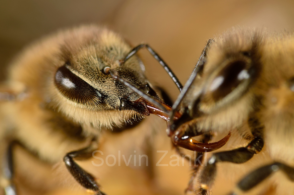 The honeybee (Apis mellifera) passes the collected nectar to a sister, who will store it as honey in the cells. Kiel, Germany | Die Honigbiene (Apis mellifera) gibt den gesammelten Nektar an eine Schwester weiter, diese wird den Nektar eindichcken und ihn als Honig in den Zellen lagern.  Kiel, Deutschland