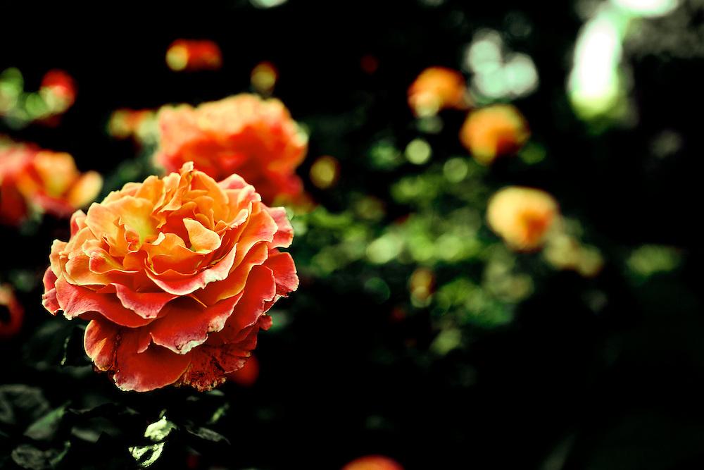 Roses in Morcom Rose Garden in Oakland, CA.  Copyright 2009 Reid McNally.