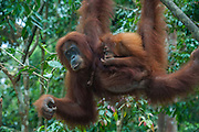 Mother and baby Sumatran orangutan (Pongo abelii) swinging through the forest, Bukit Lawang Orang Utan Rehabilitation station, Sumatra, Indonesia
