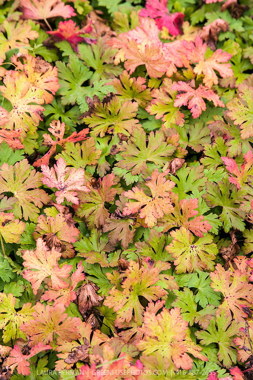 Autumn foliage of Geranium macrorrhizum