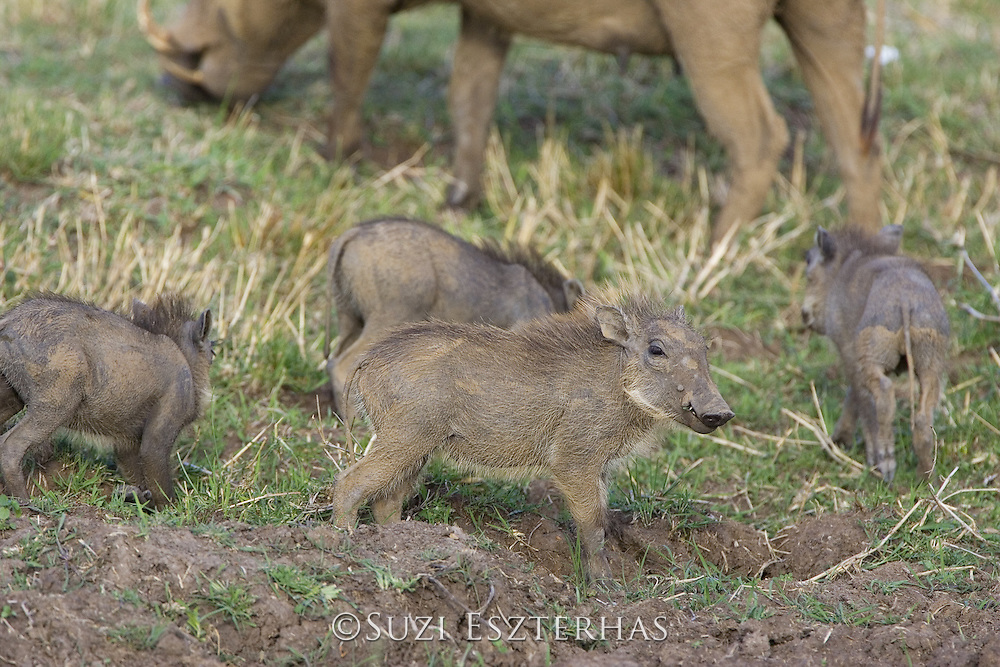 AFRICAN WART HOG <br /> Phacochoerus aethiopicus<br /> young piglets<br /> Masai Mara Reserve, Kenya