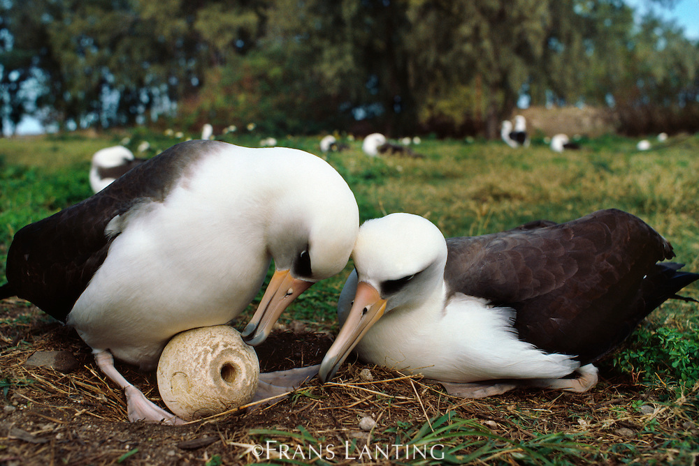 Laysan albatross couple attempting to incubate a fishing float pretending it is an egg, Phoebastria immutabilis, Midway Atoll, Hawaiian Leeward Islands