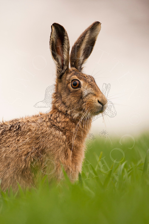 European Hare (Lepus europaeus) adult alert in wheat crop, Norfolk, UK.