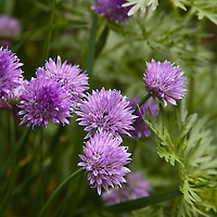 Chive flowers (Allium schoenoprasum)