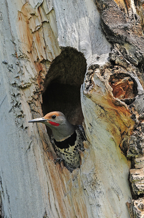 This male red-shafted flicker peaks out of his nest hole. Flickers are cavity nesters who prefer to excavate their own nests but will reuse and repair damaged or abandoned nests of other birds.