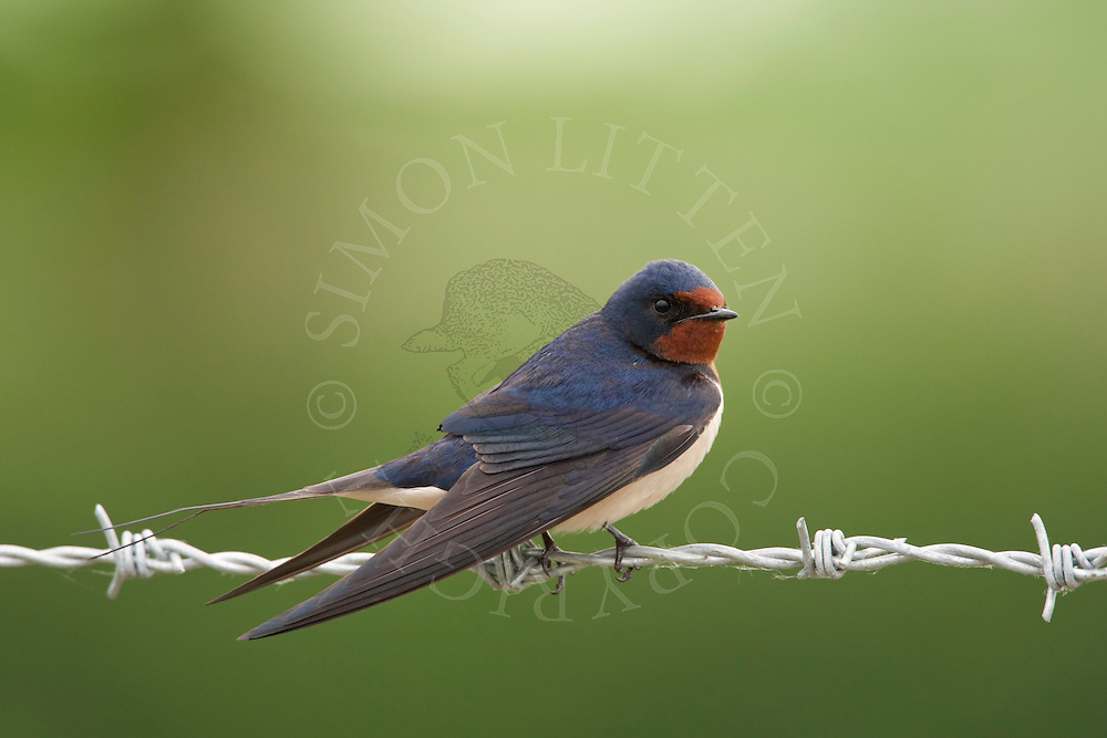 Barn Swallow (Hirundo rustica) adult perched on barbed wire, Norfolk.