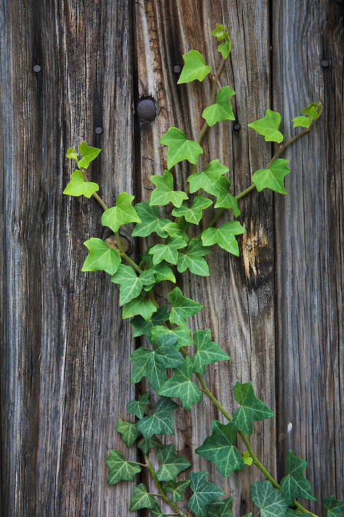 Ivy (Hedera helix) on an old wooden door in the city of Pont-du-Chateau, Auvergne, France.