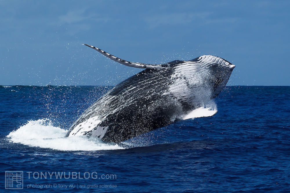 Breaching humpback whale (Megaptera novaeangliae). This is an escort that was with Tahafa, calf #14 of the 2011 season in Tonga, and mother for an extended period of time spanning at least 14 days.