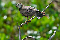 Snail Kite (Rosthramus hamatus) - juvenile - , The Pantanal, Mato Grosso, Brazil Photo by: Peter Llewellyn