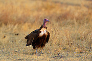 Hooded Vulture, Grumet, Tanzania, East Africa