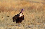 Hooded Vulture, Grumet, Tanzania, East Africa