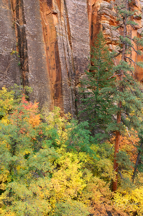 Soft light on fall color and pines against sandstone cliff in Upper Zion Canyon, Zion National Park, Utah .