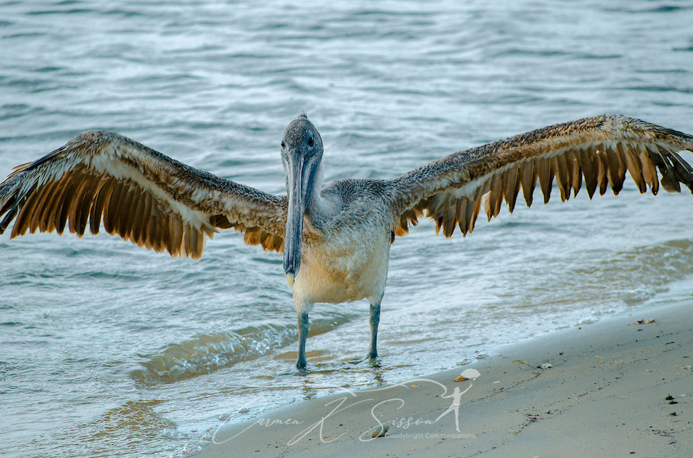 A brown pelican spreads its wings on the beach near the Bayou La Batre State Docks June 17, 2013. (Photo by Carmen K. Sisson/Cloudybright)