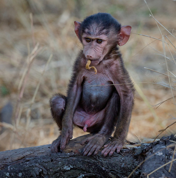 Baby olive baboon (Papio anubis) sitting on a log, Tarangire National Park; Tanzania; Africa