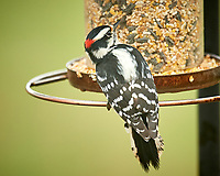 Hairy Woodpecker. Image taken with a Nikon D5 camera and 600 mm f/4 VR telephoto lens (ISO 900, 600 mm, f/4, 1/640 sec)