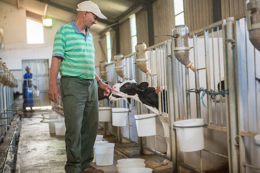 SOUTH AFRICA- Farmer standing in dairy farm with calfs.