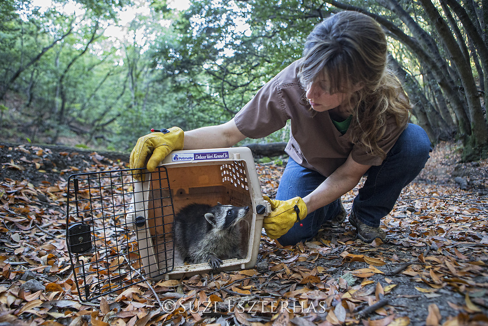 Raccoon <br /> Procyon lotor<br /> Four-month-old orphaned juvenile being released into wild by volunteer, Shelly Ross<br /> WildCare, San Rafael, CA<br /> *Model release available