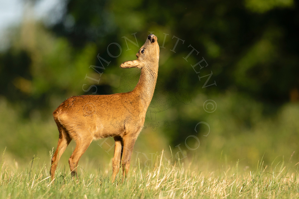 Western Roe Deer (Capreolus capreolus) female in grass meadow looking up, South Norfolk, UK. July