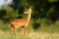 Western Roe Deer (Capreolus capreolus) female in grass meadow looking up, South Norfolk, UK. July