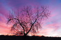 Silhouette of a cottonwood tree at sunrise. Cherry Creek State Park, Colorado.