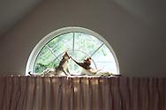 First digital photo I took. Two Singapura cats lying on curtain rod high in half-moon window, 2000.
