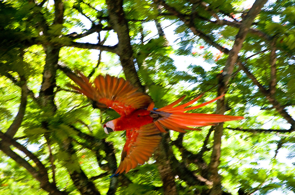 Scarlet Macaw (Ara macao) at Copan Ruins, Honduras. June 2009.  (Photo/William Byrne Drumm)
